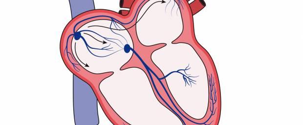 Herz mit AV- und Sinusknoten