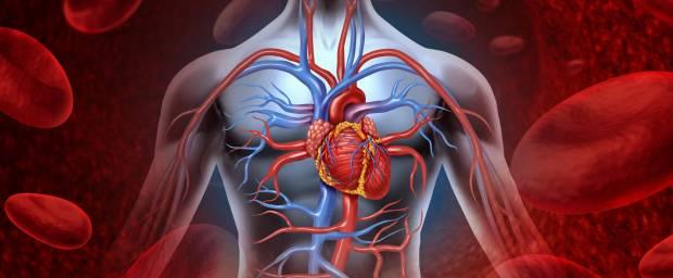 Herz-Kreislaufsystem beim Menschen