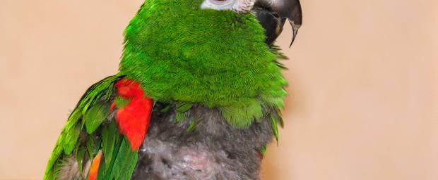 Papageienkrankheit