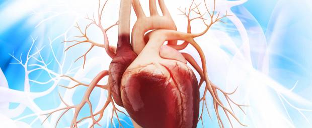 Anatomie des Herzens