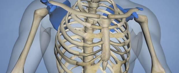 Brustkorb, Skelett Mensch