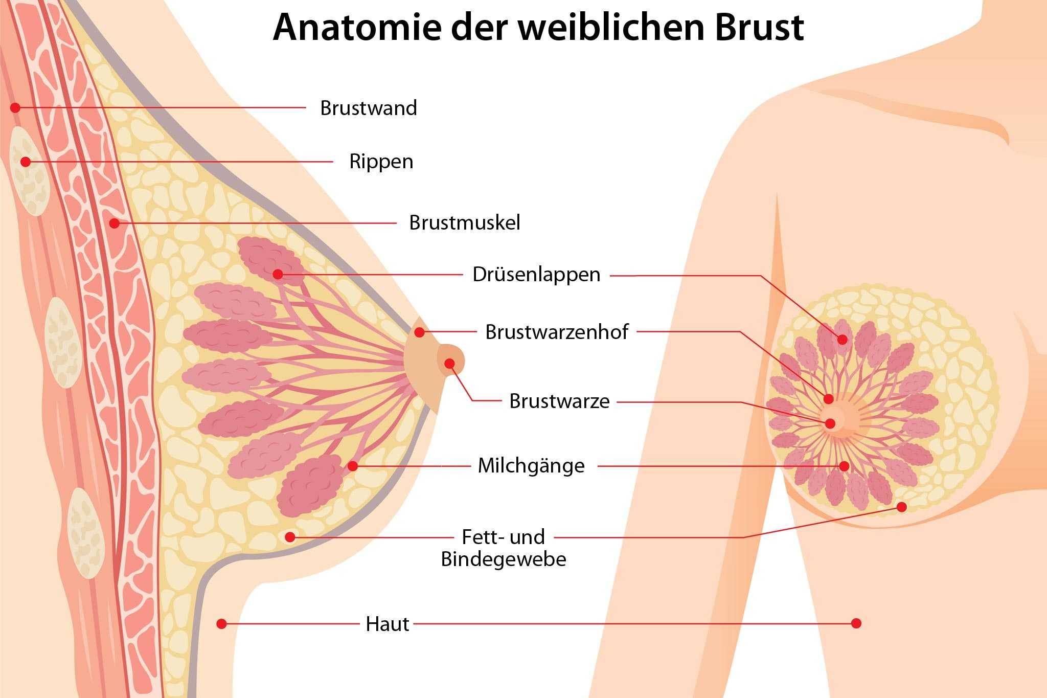 Brustwarze knubbel